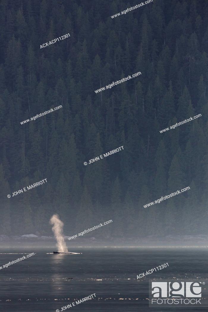 Stock Photo: Humpback whale, Megaptera novaeangliae, British Columbia coast, Canada.