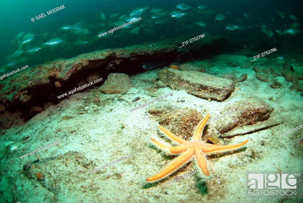 Stock Photo: Seven-armed starfish in Brittany waters, France. Luidia ciliaris.