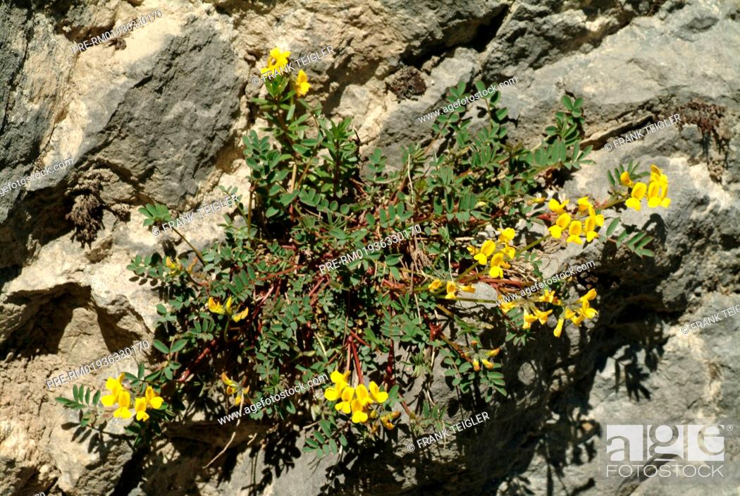 Stock Photo: Horseshoe vetch, Hippocrepis comosa / Gewöhnlicher Hufeisenklee, Hippocrepis comosa.