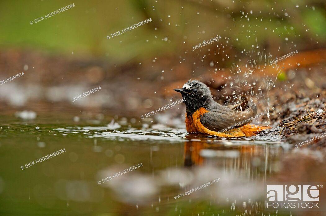 Imagen: Common Redstart (Phoenicurus phoenicurus) taking a bath, The Netherlands, Overijssel, HBN photo hide.