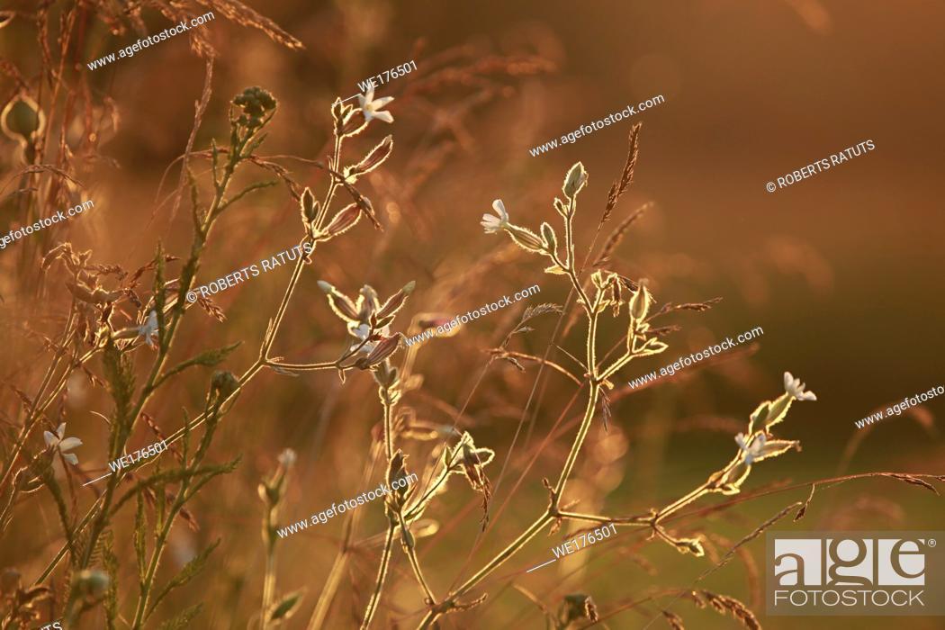 Stock Photo: Field at sunset, sunset on meadow. Grass in the sunlight background. Summer, autumn, fall season landscape. Summertime, autumntime sun scene in Latvia.