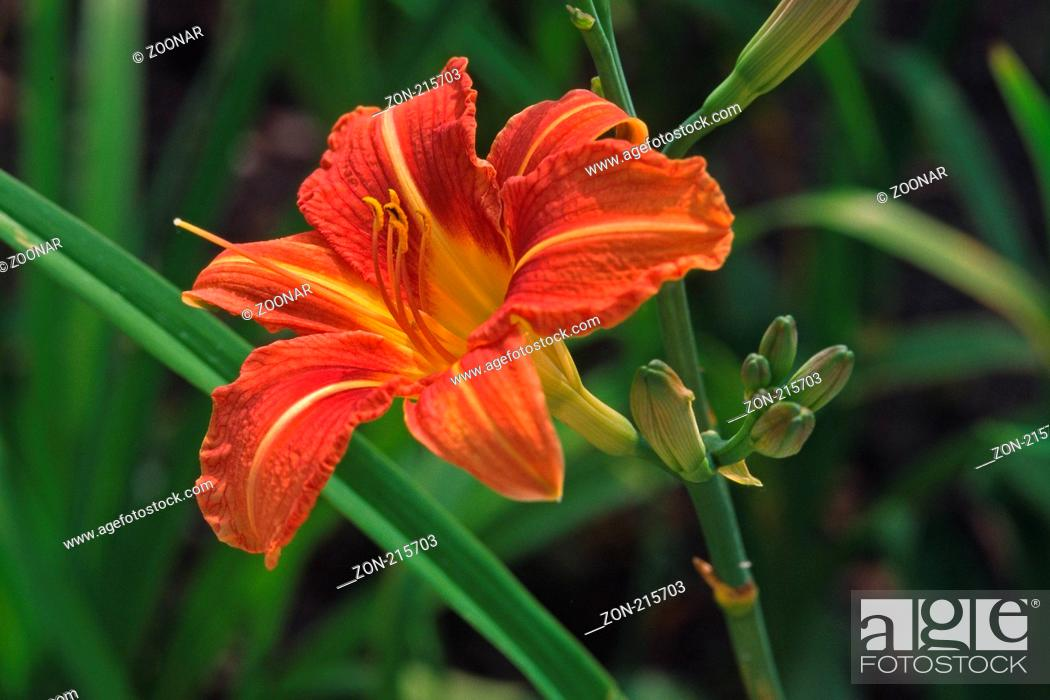 Stock Photo: Hemerocallis citrina 'Appel Tart', Taglilie.