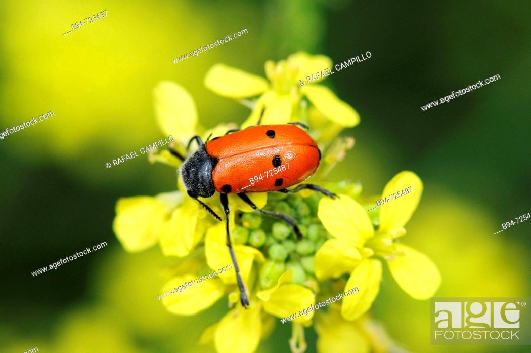 Stock Photo: Leaf beetle (Lachnaia vicina). Collserola park, Barcelona, Catalonia, Spain.