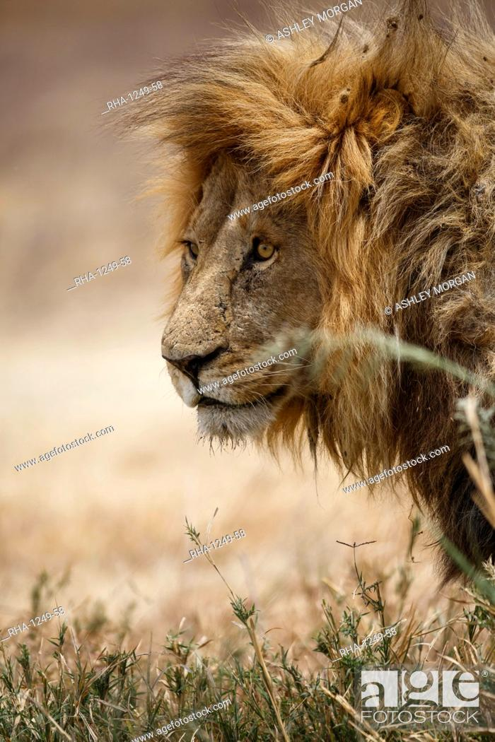 Stock Photo: Portrait of an African lion (Panthera leo), Serengeti National Park, Tanzania, East Africa, Africa.
