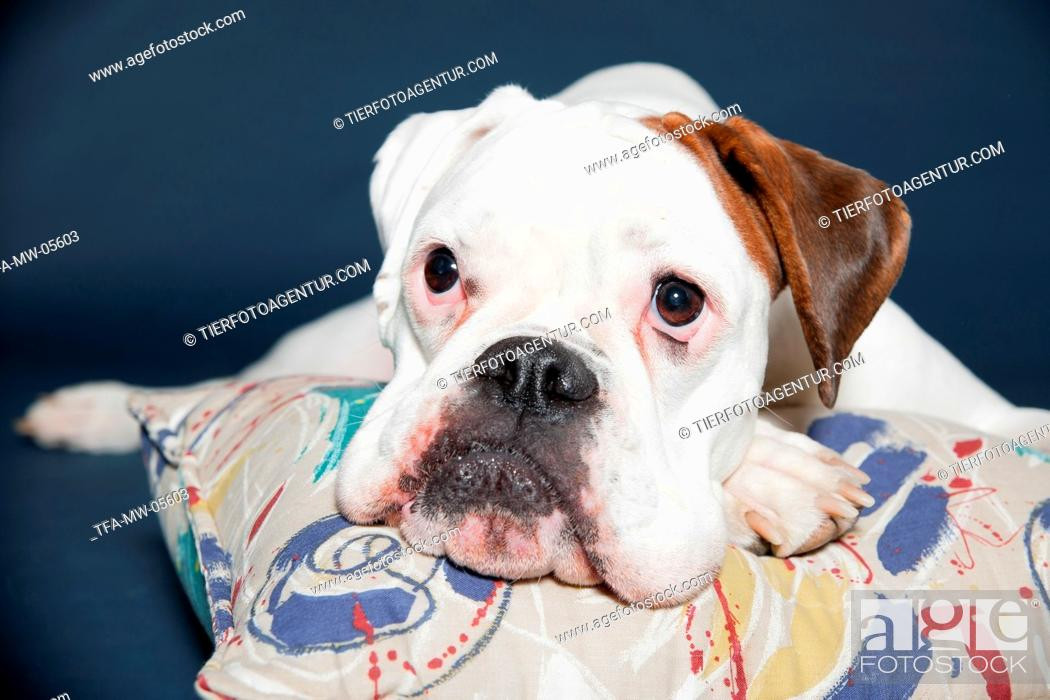 Stock Photo: lying German Boxer.
