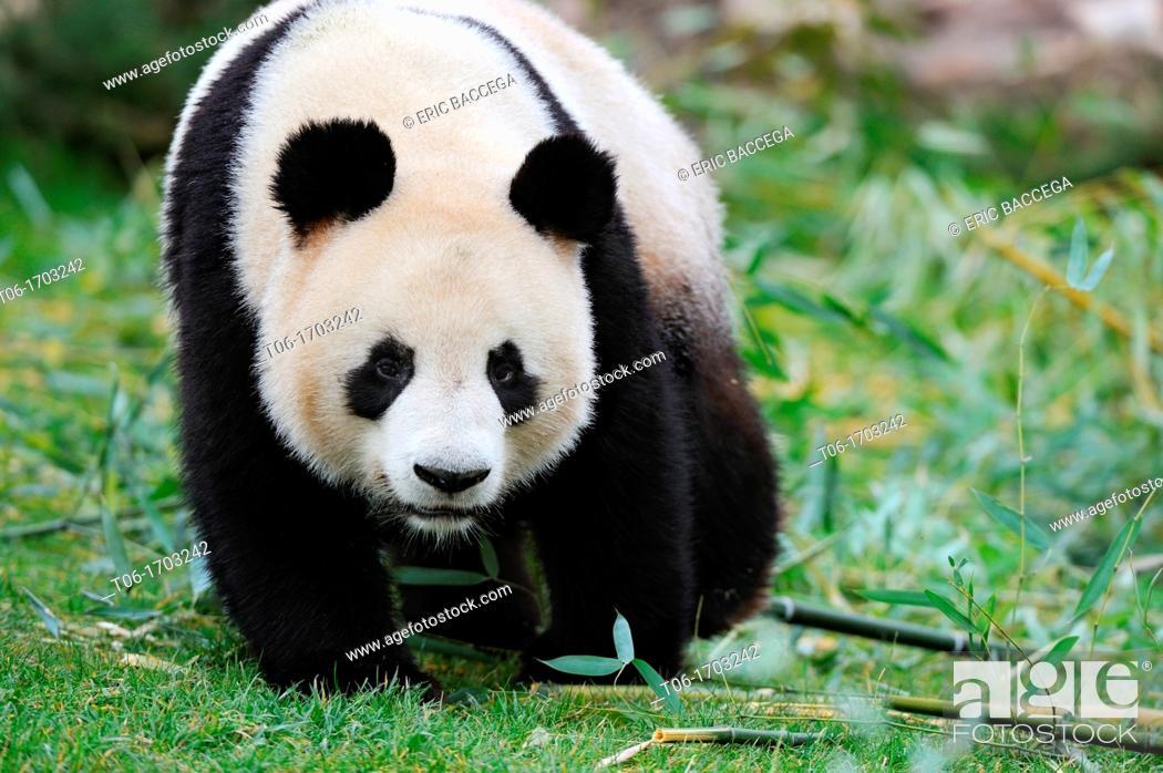 Stock Photo: Giant panda walking  Ailuropoda melanoleuca captive  ZooParc Beauval, France.