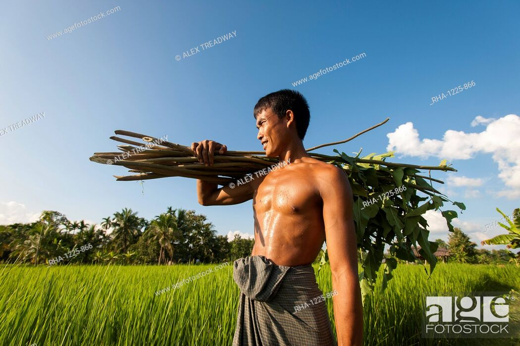 Stock Photo: A farmer carries some sticks to be used to make a fence, Chittagong Hill Tracts, Bangladesh, Asia.