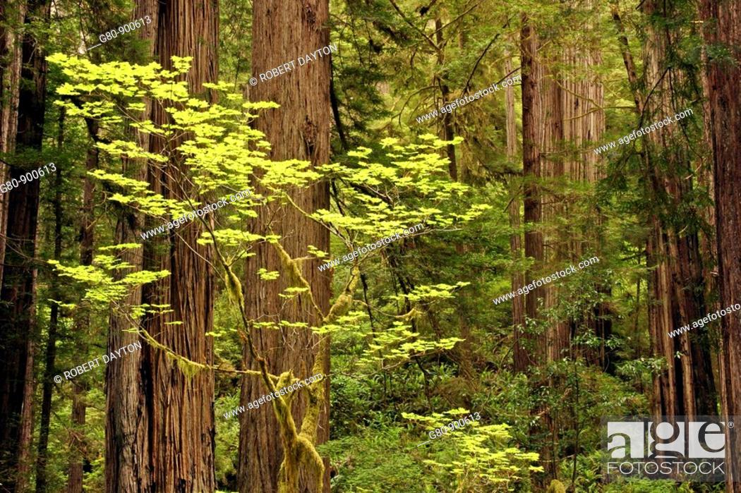Stock Photo: Lush vegetation occurs in the spring in Prairie Creek Redwoods State Park, California.