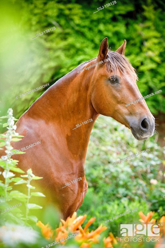Stock Photo: Lusitano horse standing - portrait.