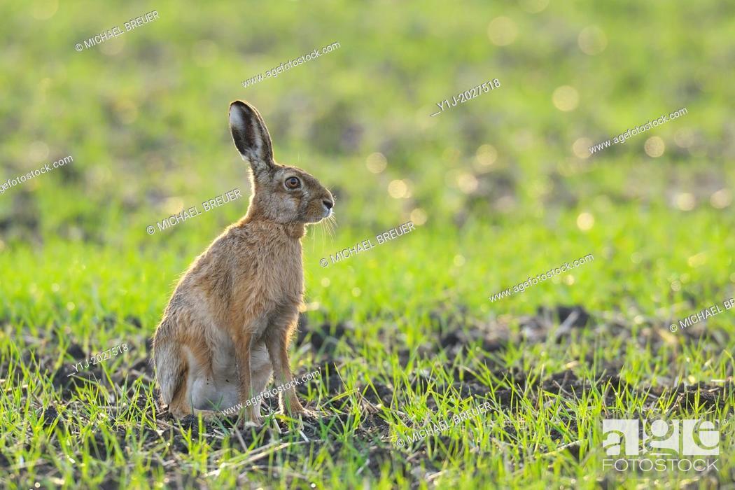 Stock Photo: European brown hare, Lepus europaeus, Springtime, Hesse, Germany, Europe.