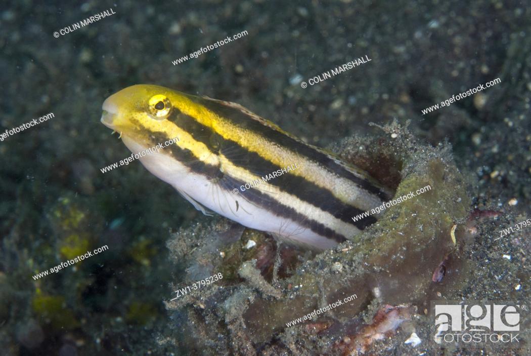 Photo de stock: Shorthead Fangblenny (Petroscirtes breviceps) in bottle, Jadi-Jadi dive site, Lembeh Straits, Sulawesi, Indonesia.