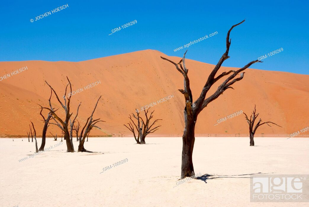 Stock Photo: Trees in the Sossusvlei, Namibia.