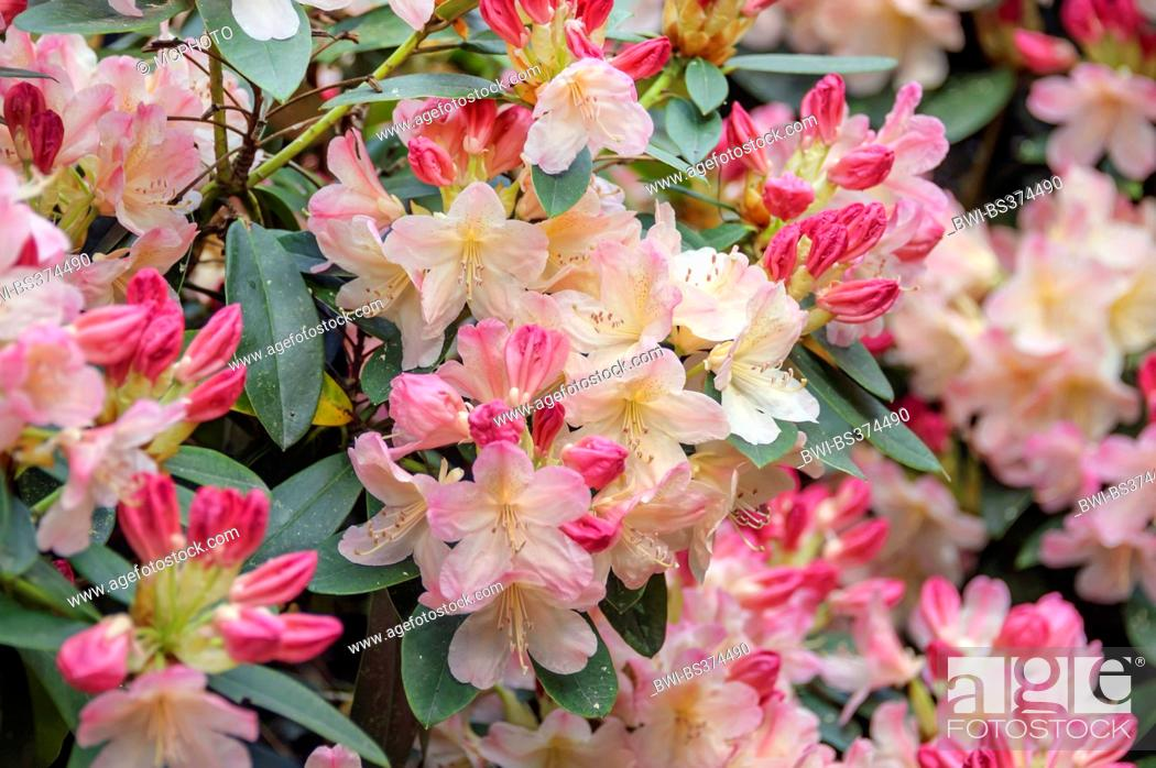 Imagen: rhododendron (Rhododendron 'Percy Wiseman', Rhododendron Percy Wiseman), cultivar Percy Wiseman.