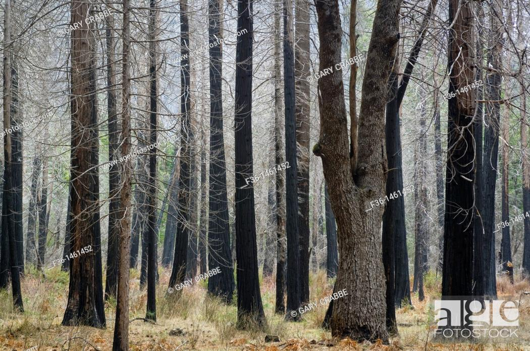 Stock Photo: Barren trees in burnt forest, Yosemite Valley, Yosemite National Park, California.