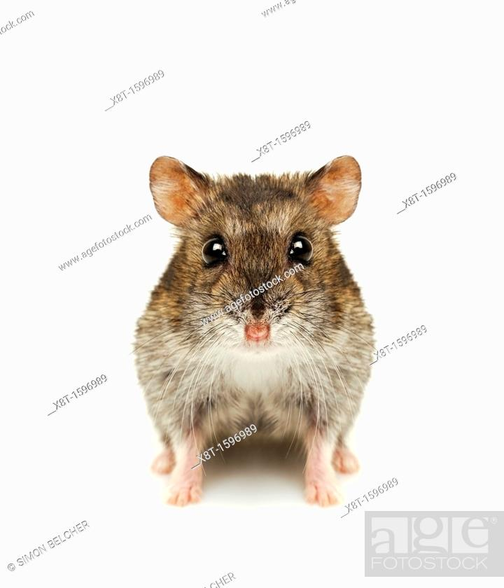 Stock Photo: Hamster Cut Out.