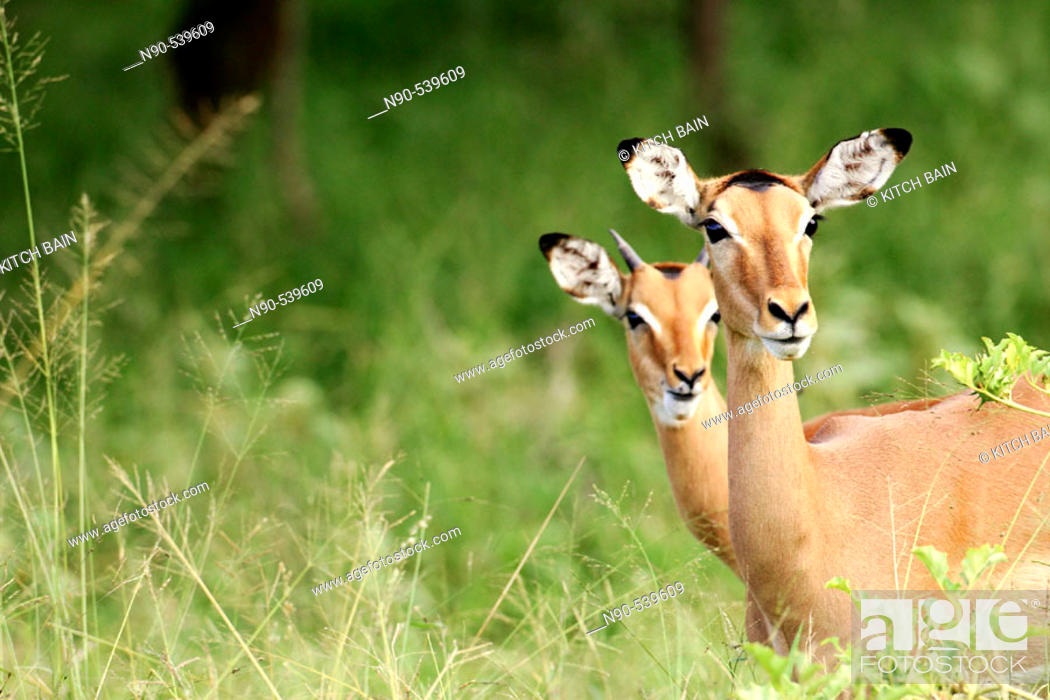 Stock Photo: Impalas.