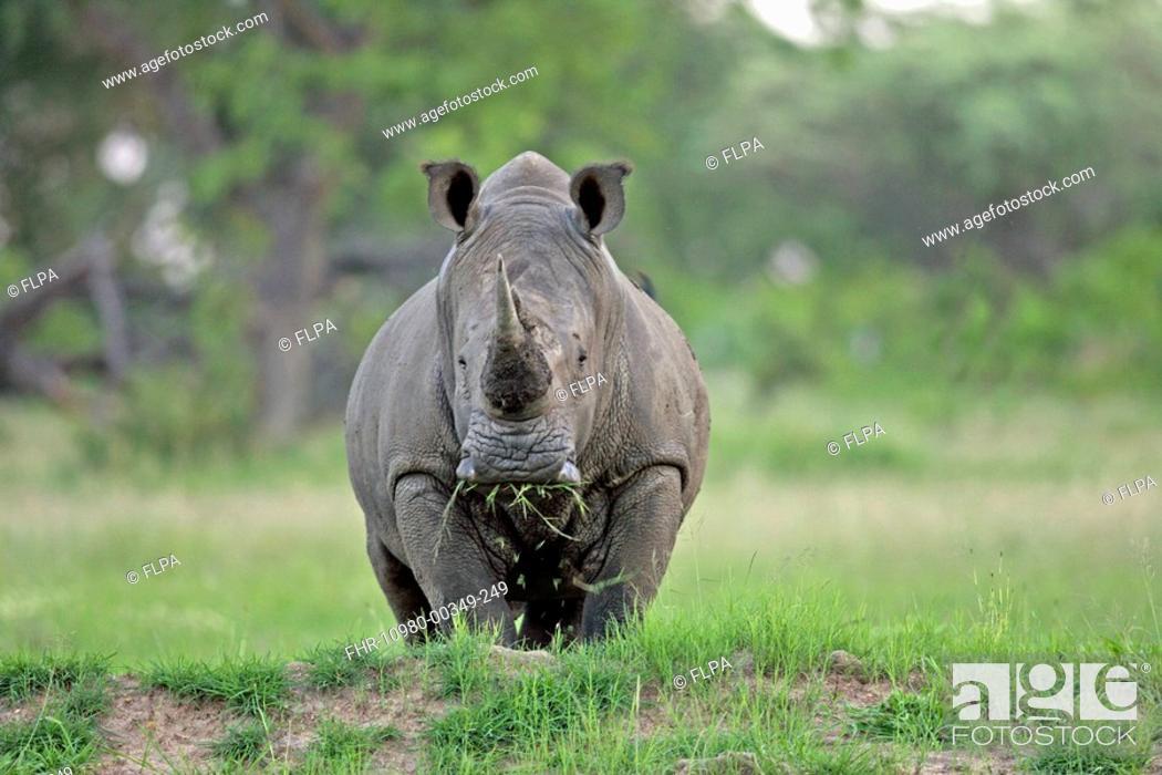 Stock Photo: White Rhinoceros Ceratotherium simum Adult feeding, Sabie Sand Game Reserve, South Africa.