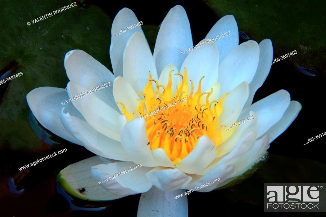 Imagen: Water lily flower.