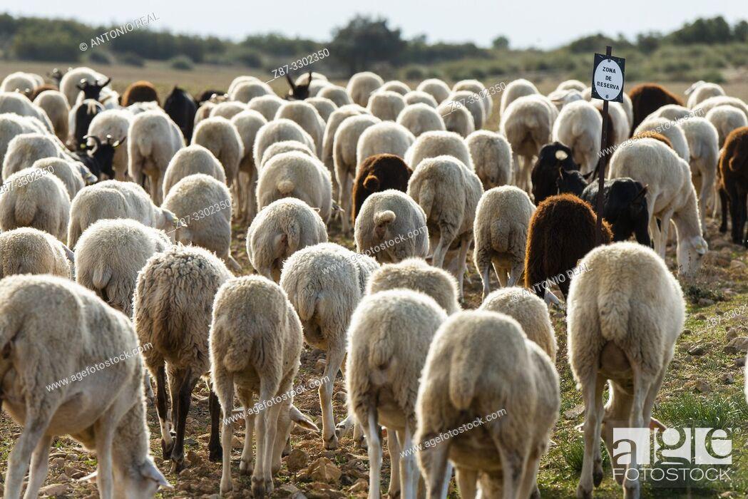 "Stock Photo: Flock of ""Manchega"" sheep. Sugel. Almansa. Albacete . Castile-La Mancha. Spain."