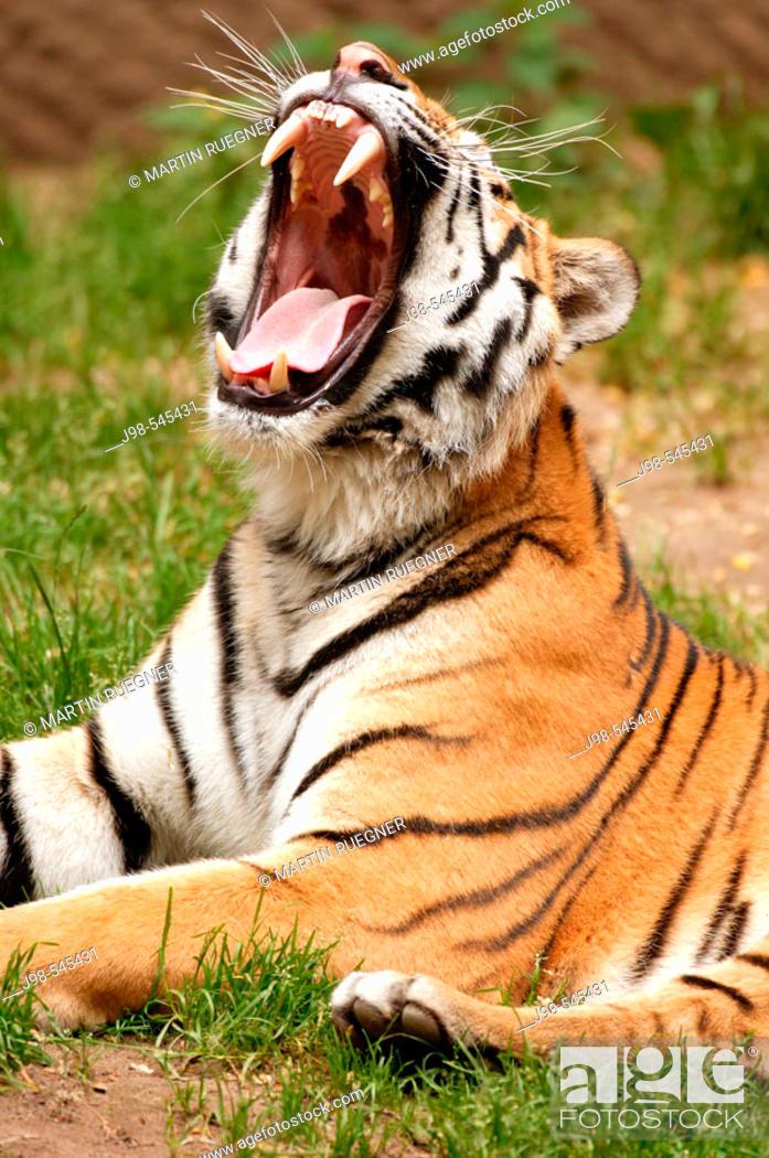 Stock Photo: Siberian Tiger (Panthera tigris altaica).