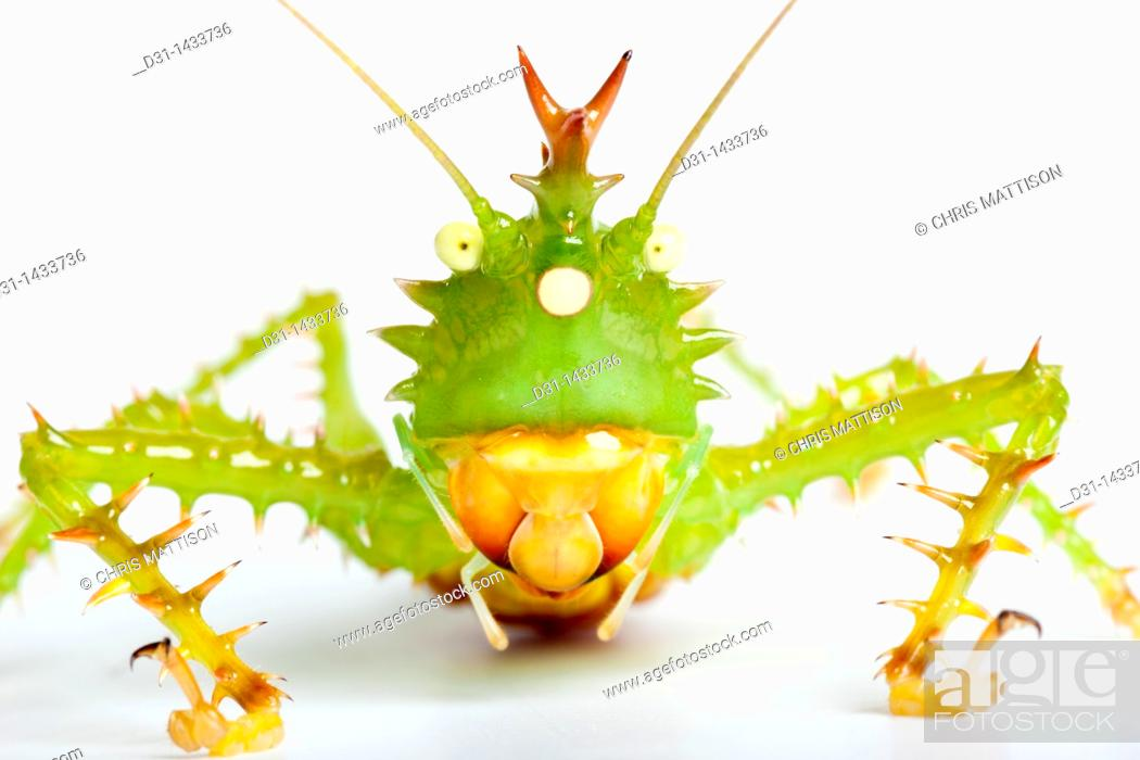 Stock Photo: Spiny devil katydid, Panacanthus cuspidatus, Napo, Ecuador, on white background.