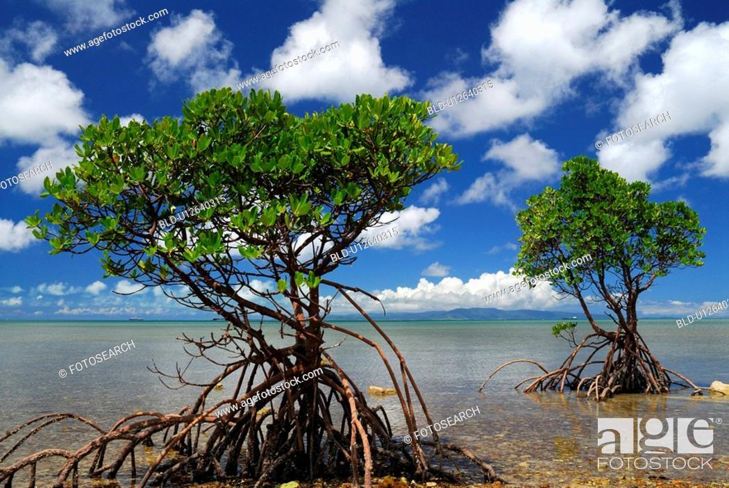 Stock Photo: Mangrove.