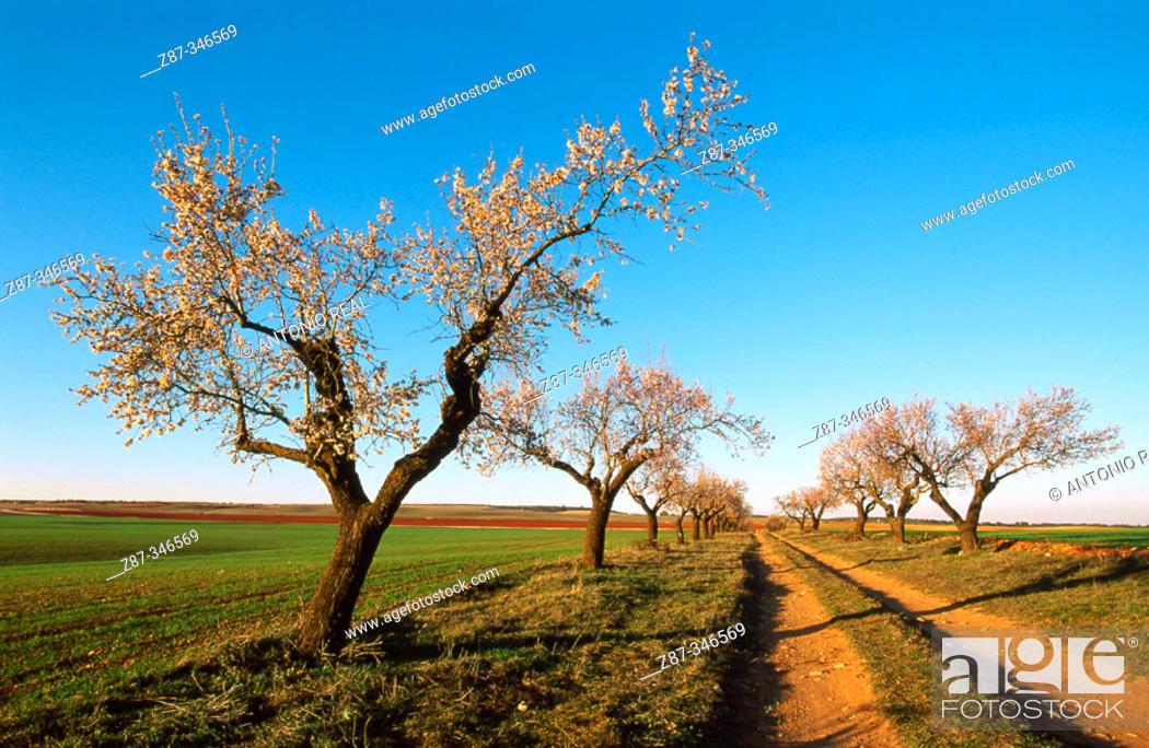 Stock Photo: Almond trees. Corral-Rubio. Albacete province. Spain.