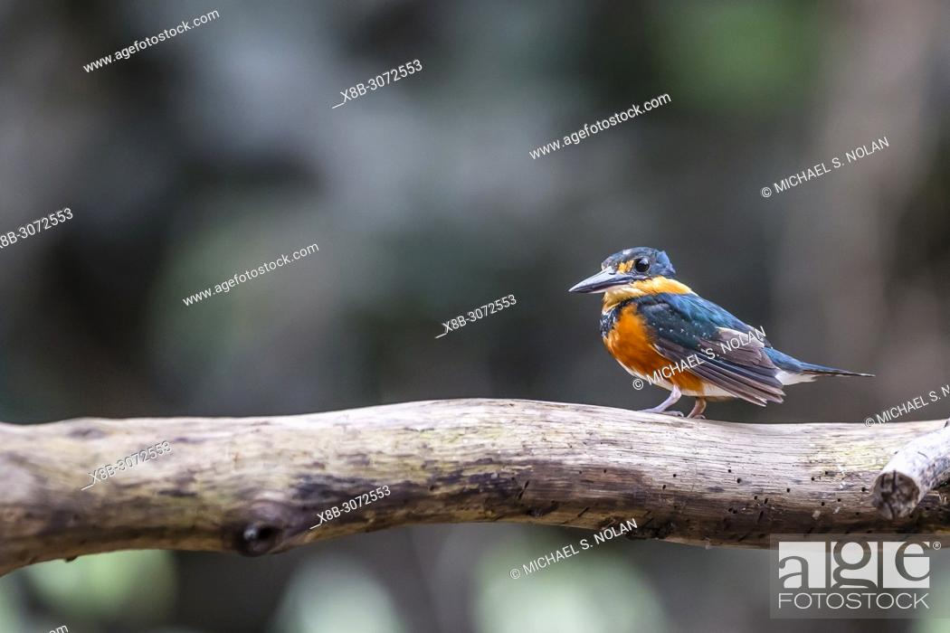 Imagen: Adult American Pygmy Kingfisher, Chloroceryle aenea, Nauta Caño, Upper Amazon River Basin, Loreto, Peru.