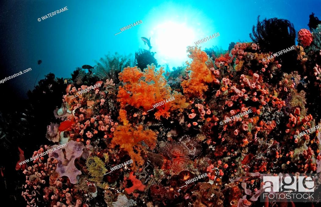 Stock Photo: Reef with Cave Corals, Dendrophyllia Tubastrea sp., Komodo, Flores sea, Indonesia.