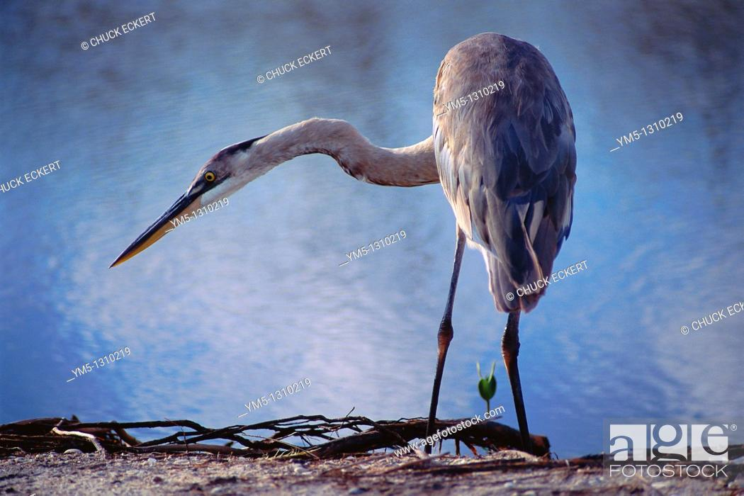 Stock Photo: Ardea herodias Great Blue Heron feeding on shoreline nest to mangrove seedling.