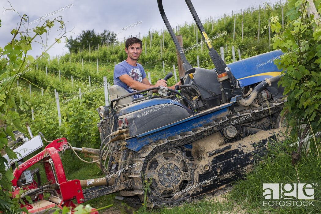 Stock Photo: Driver on the tracked tractor works among the rows of vineyards in the Langhe and Roero hills in Piedmont the sky is cloudy and close to a thunderstorm or storm.