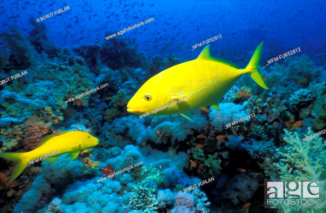Stock Photo: Yellow-spotted Travelly, Caranx bajad, Sharm el Sheikh, Sinai, Red Sea, Egypt.