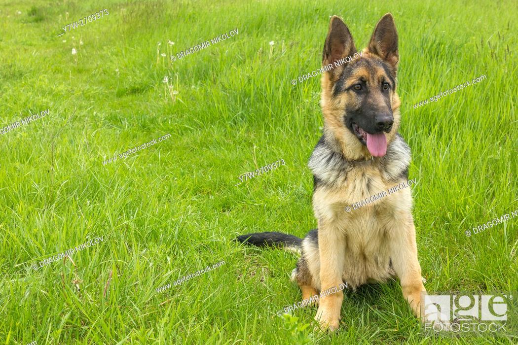Stock Photo: German shepherd dog. The dog is running in a green field in Bulgaria.