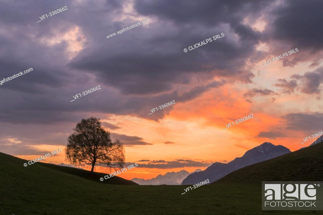 Stock Photo: A Birch at dusk in Vill, Innsbruck, Tyrol, Austria, Europe.