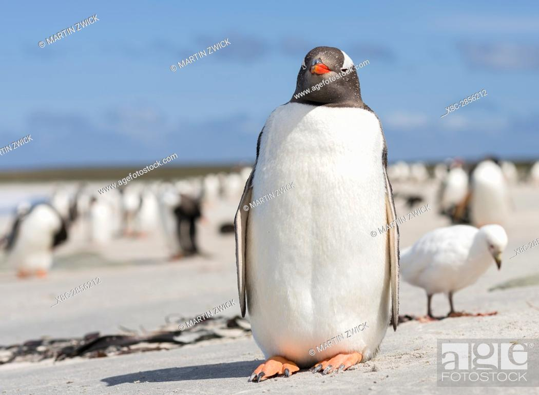 Stock Photo: Gentoo Penguin (Pygoscelis papua), Falkland Islands. South America, Falkland Islands, January.
