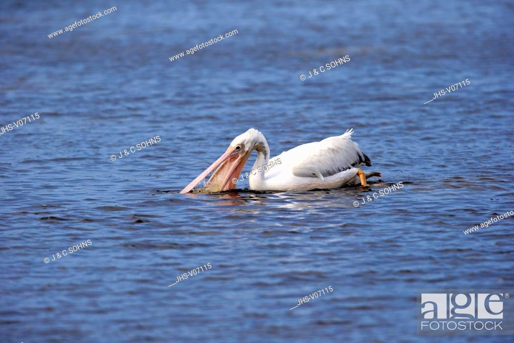 Stock Photo: American White Pelican, (Pelecanus erythrorhynchos), Sanibel Island, Florida, USA, Northamerica, adult in water searching for food.