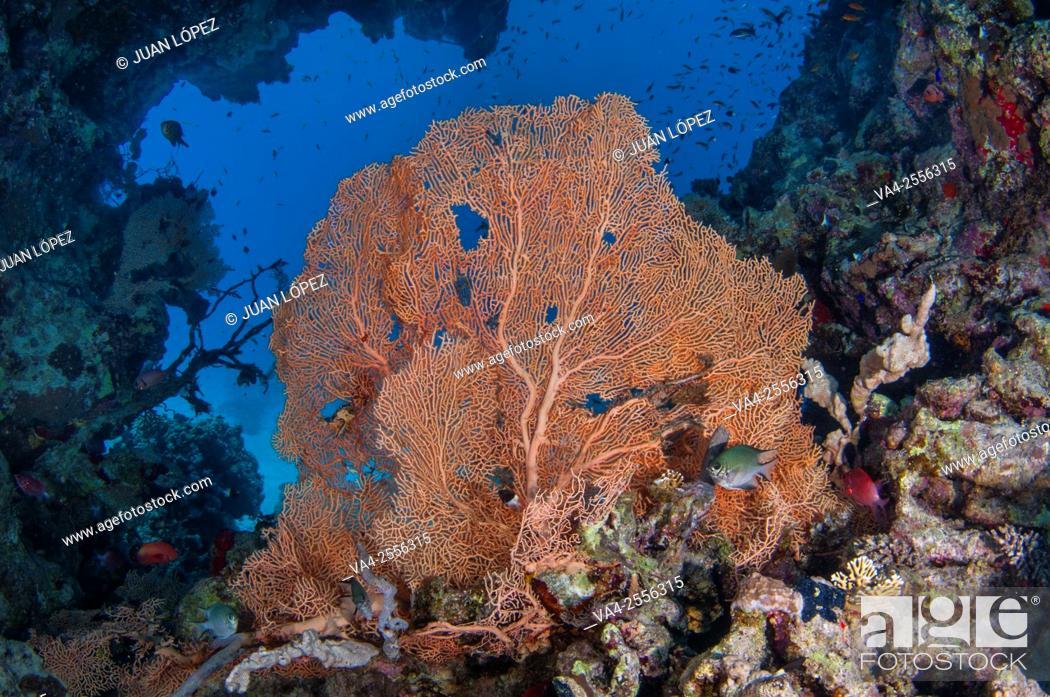 Stock Photo: Gorgonian Gorgonia ventalina. Red Sea, Sharm el-Sheikh, Egypt.