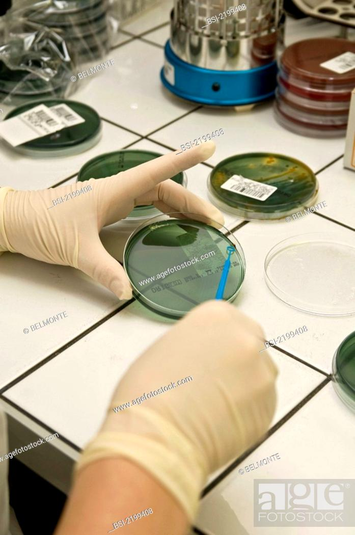 Stock Photo: BACTERIOLOGY Photo essay in a laboratory. Saint Louis Hospital, Paris, France. Department of bacteriology of Dr François Simon.