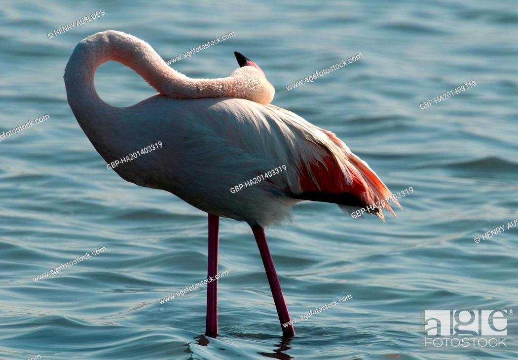 Stock Photo: France, Camargue, Greater Flamingo, Phoenicopterus roseus, 03/05/2011.