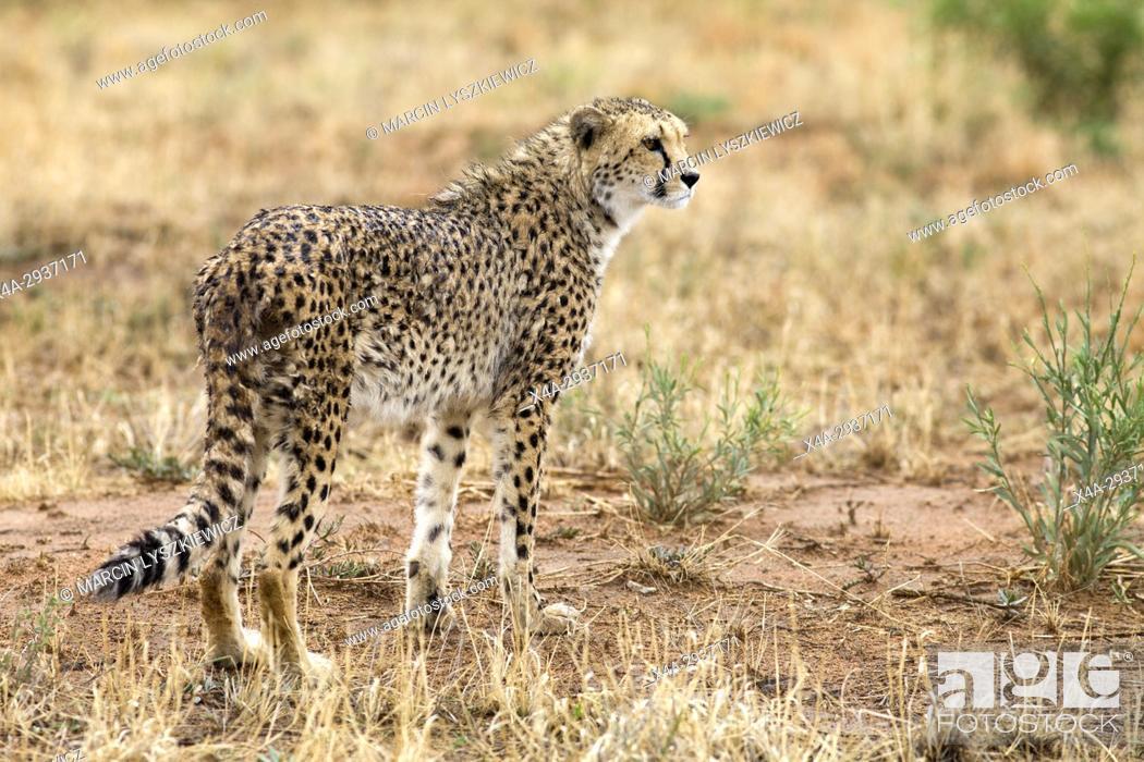 Stock Photo: Wet cheetah (Acinonyx jubatus) standing in the grass, Africat Centre, Namibia.