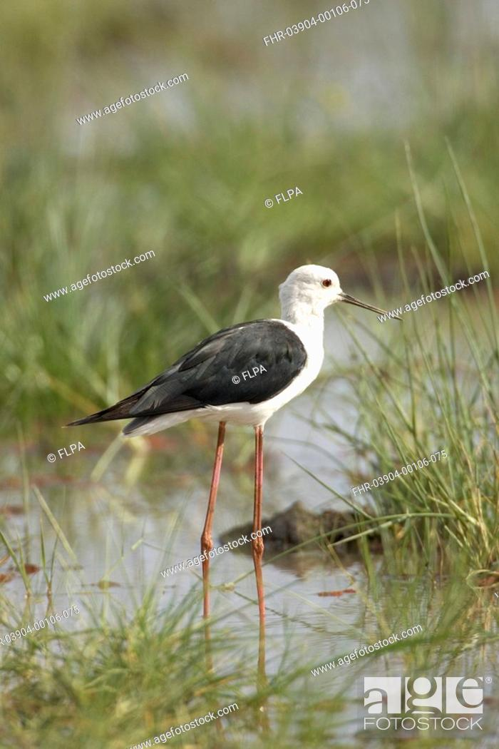 Stock Photo: Black-winged Stilt, Lake Manyara National Park, Himantopus himantopus,.
