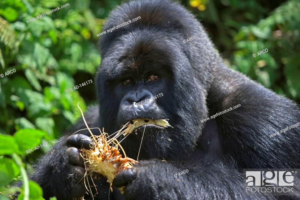 Stock Photo: Mountain Gorilla male Volcano national park Rwanda Gorilla gorilla beringei silverback.