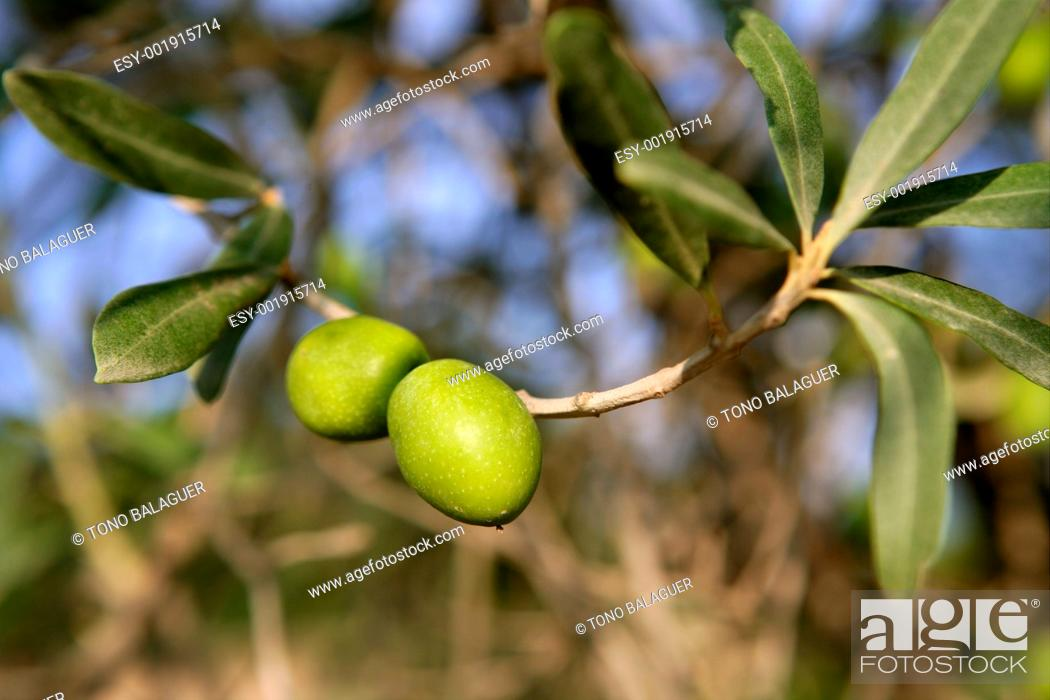 Stock Photo: branch details with olives growing.