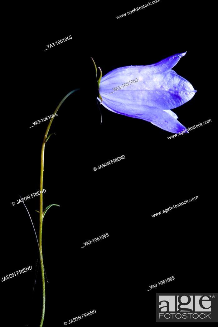 Stock Photo: England, Staffordshire, Highgate Common Country Park  Creative view of a Harebell Campanula rotundifolia.