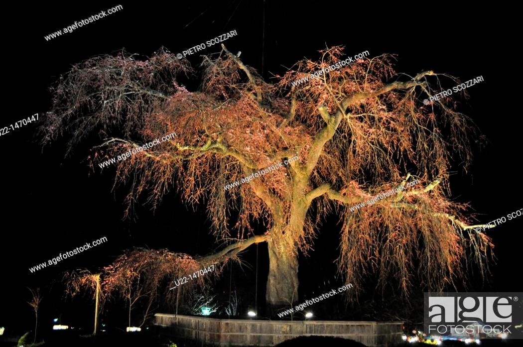 Stock Photo: Kyoto (Japan): blossoming cherry tree artificially illuminated at night in Maruyama park, during Spring.