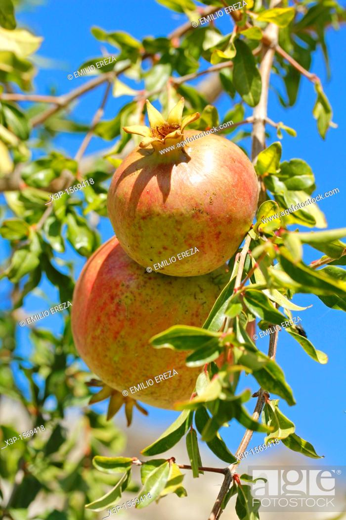 Stock Photo: Pomegranates  Lleida, Catalonia, Spain,.