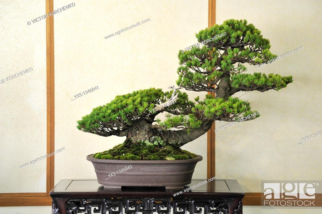 Stock Photo: Miniature pine tree at bonsai show in Nikko.