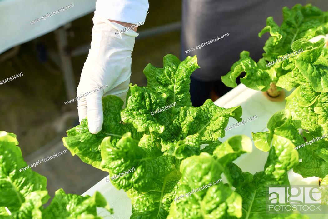 Stock Photo: Picking stem lettuce.