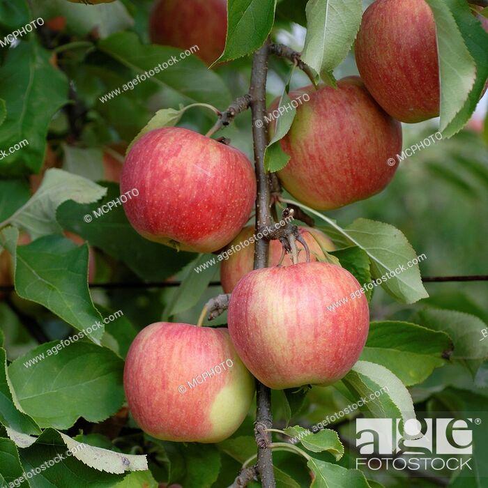 Stock Photo: apple tree (Malus domestica 'Shampion', Malus domestica Shampion), cultivar Shampion, apples on a tree.