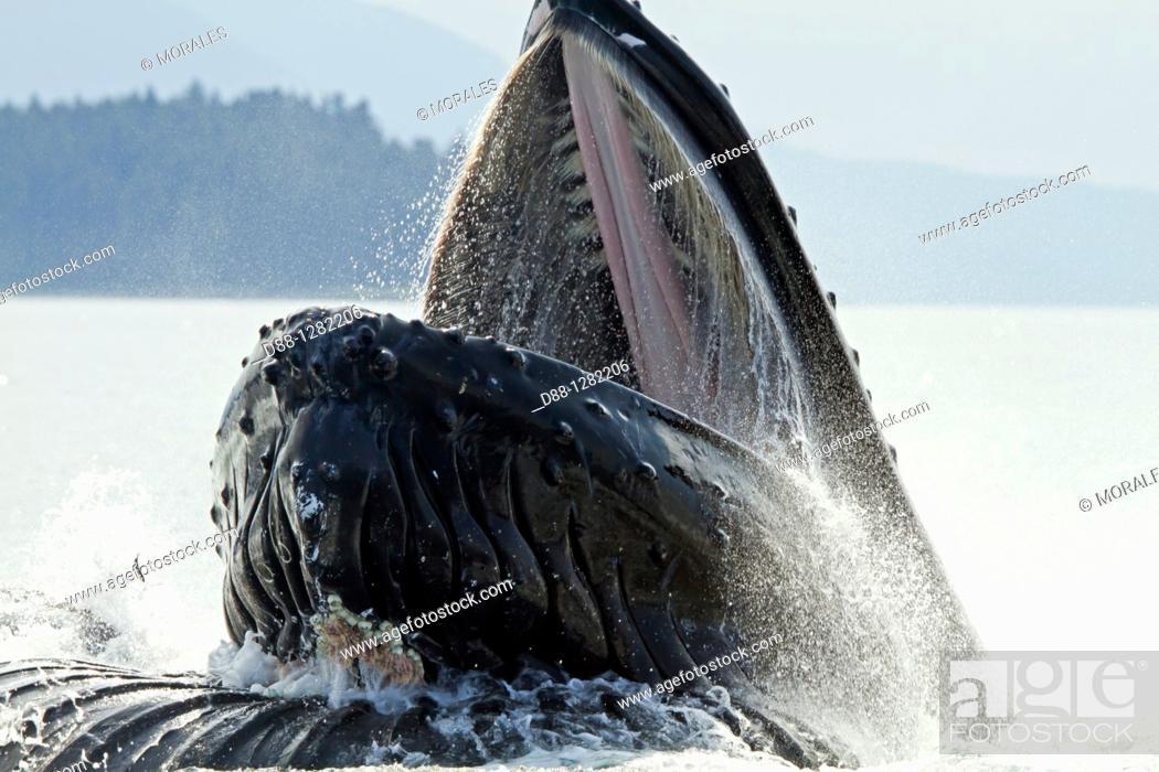 Stock Photo: Bubble feeding Bubble net feeding  Humpback whale  Megaptera novaeangliae  Order: Cetacea Suborder: Mysticeti Family: Balaenopteridae.